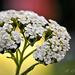 A közönséges cickafark (Achillea millefolium) Gyógynövény