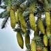 Zöld /Fenyőtoboz növendékek /Nyár