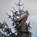 Pihenő fehér gólya (Ciconia ciconia)