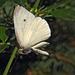 A fehérlepke (Pieridae) érdekes pózban