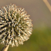 Virágzó bogáncs (Carduus)