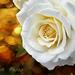 Fehér rózsa Virág Nyár vége