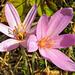 Az őszi kikerics (Colchicum autumnale)