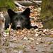 Szieszta A farkas (Canis lupus)