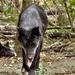 A farkasok (Canis lupus)