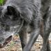 A farkas (Canis lupus)