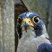 Hello szia! A vándorsólyom (Falco peregrinus)