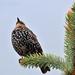 Seregély (Sturnus vulgaris) Ősz