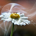 Füst Százszorszép Virág
