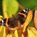 Atalantalepke (Vanessa atalanta) Pillangó