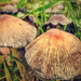 Gombák Susulykák (Inocybe)