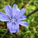 A mezei katáng(Cichorium intybus)