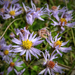 Sziki őszirózsa (Aster tripolium subsp. pannonicus)