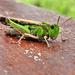 Szemölcsevő szöcske (Decticus verrucivorus)