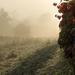 Szőlőskert Köd Napfény
