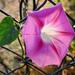 Kerítésen Virág Ősz