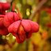 Csíkos Kecskerágó (Euonymus europaeus)