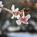 Japán cseresznyefa