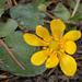 Virág Sárga Tavasz