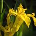 A mocsári nőszirom (Iris pseudacorus)