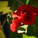 Piros rózsa