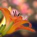 Lángszínű Sásliliom (Hemerocallis fulva)