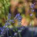 Levendula Virág Nyár
