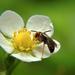 Szamóca virág