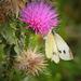 A bogáncs (Carduus) Lepke Ősz