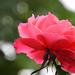 Ősz Rózsa