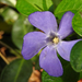 A kis meténg (Vinca minor)