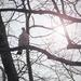 Az örvös galamb (Columba palumbus)