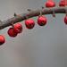 Piros bogyók