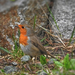 A vörösbegy (Erithacus rubecula)