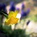 A sárga nárcisz