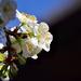 Tavasz Virágzás Gyümölcsfa