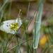 Mi van a fűben ? Egy pillangó