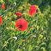 Pipacs Virág Tavasz
