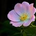 Vadrózsa Virág