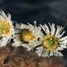 Virág Hárman Nyár