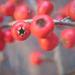 Madárbirs Piros bogyók