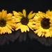 Körömvirág Calendula officinalis