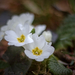 Kankalin (Primula)