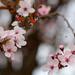 Gyömölcsfavirág Tavasz Pillangó