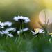 Tavasz Virágok Százszorszép