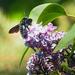 Orgonavirág Rovar Tavasz