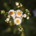 Virágok Katicabogár