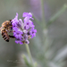 levendula méh rovar