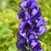 Blauer Eisenhut (Aconitum)