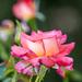 Rózsa és rózsikák